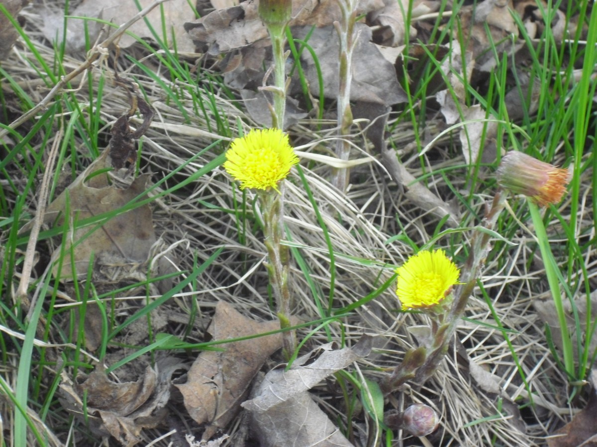Coltsfoot herb in early spring
