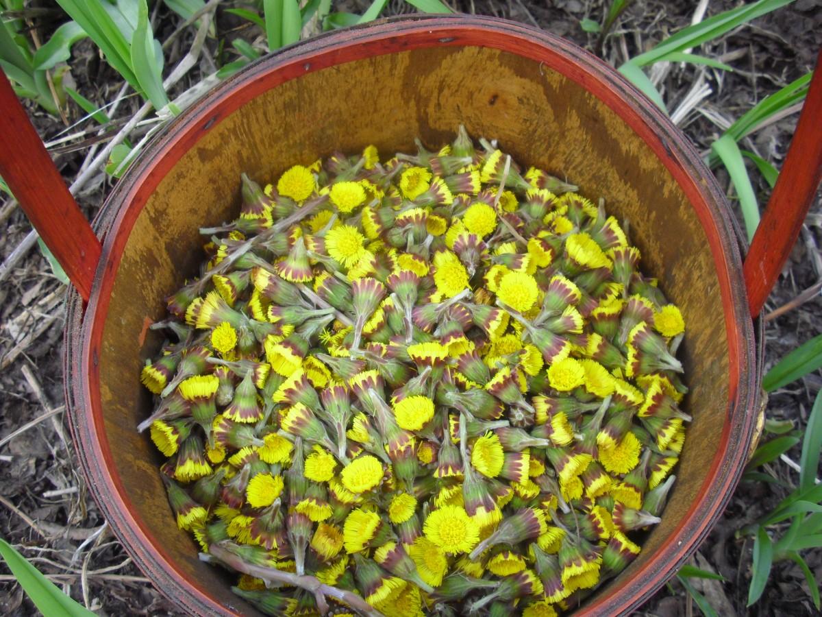 Tussilago farfara in springtime