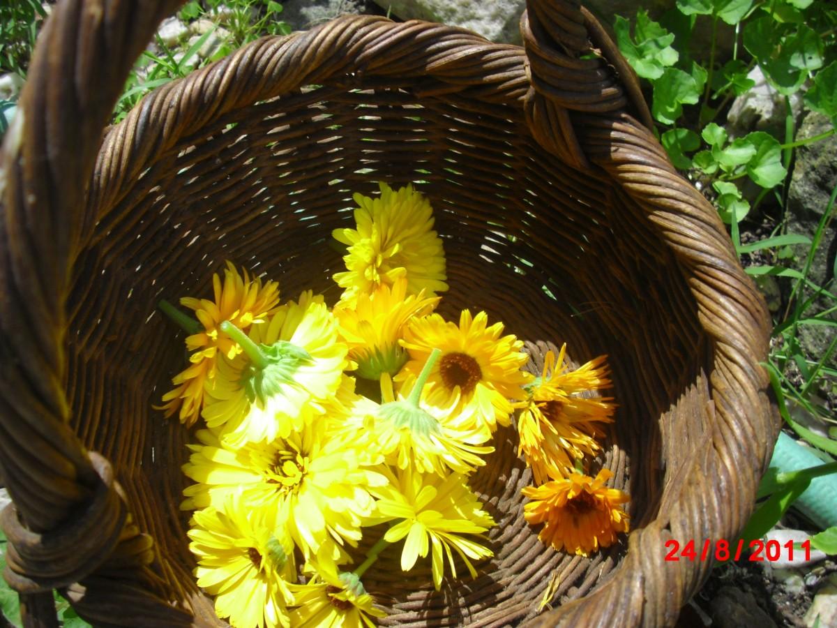 Harvested Calendula