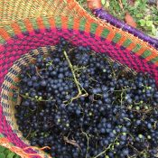 Making Grape Jelly from Wild Grapes
