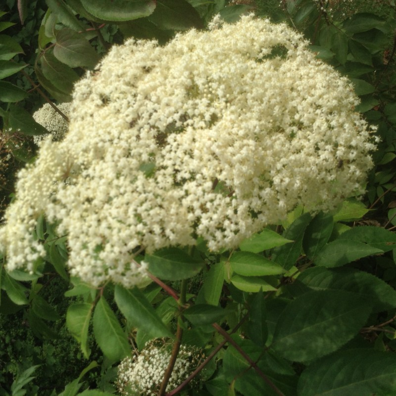 Elder flower in full boom